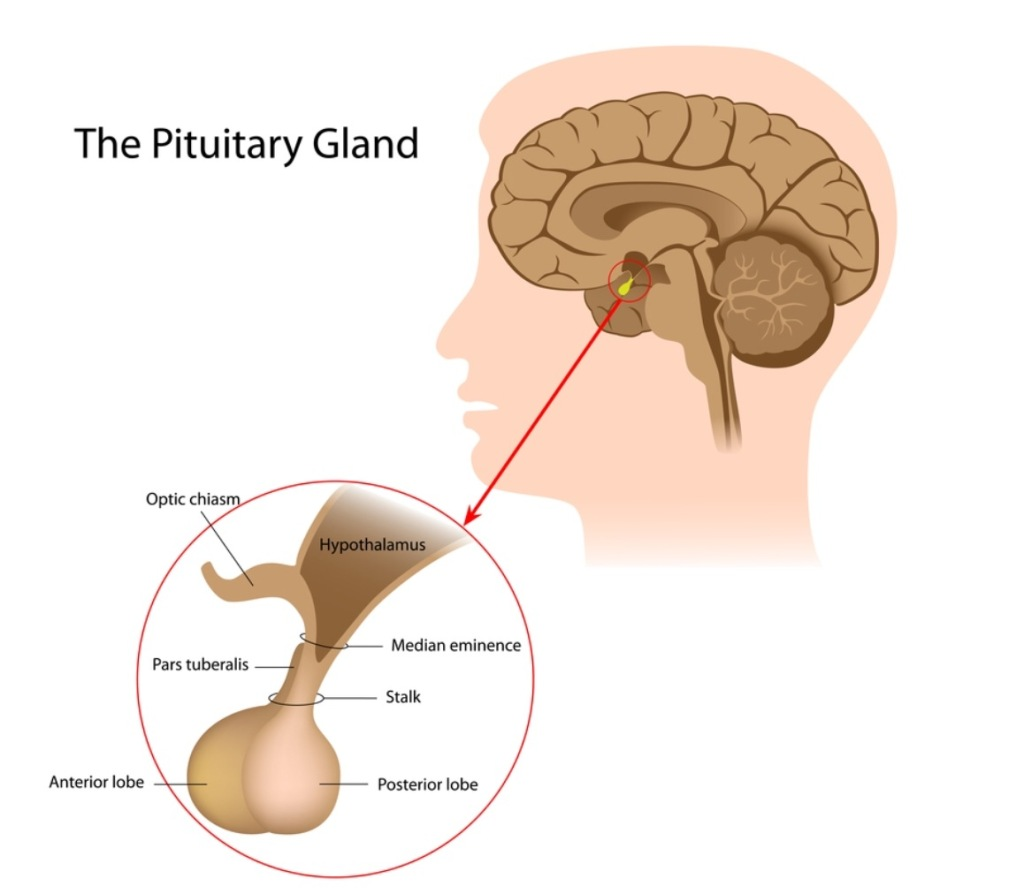 Image of the Pituitary Gland