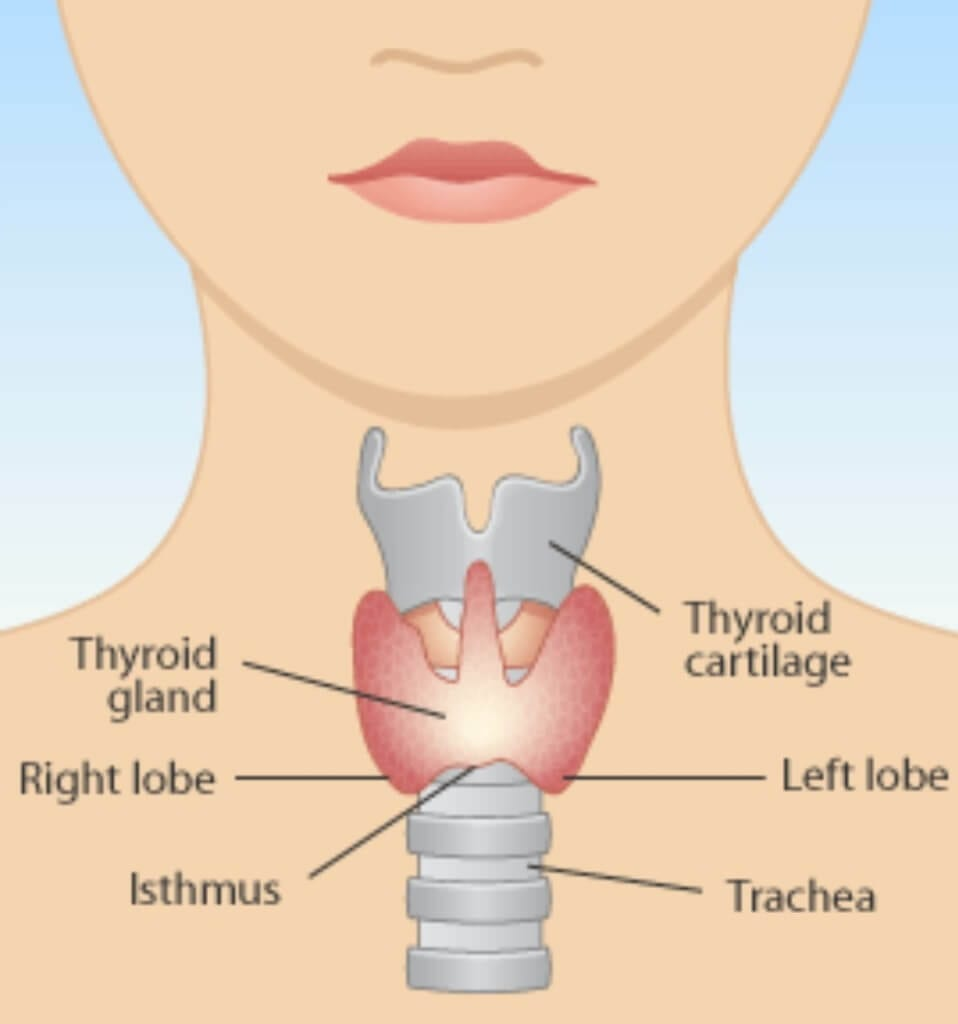 Photo Of The Thyroid Gland