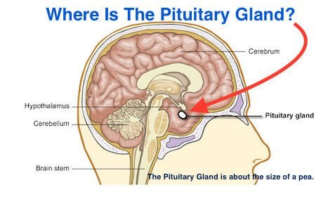 where is the pituitary gland?, Cephalic Vein
