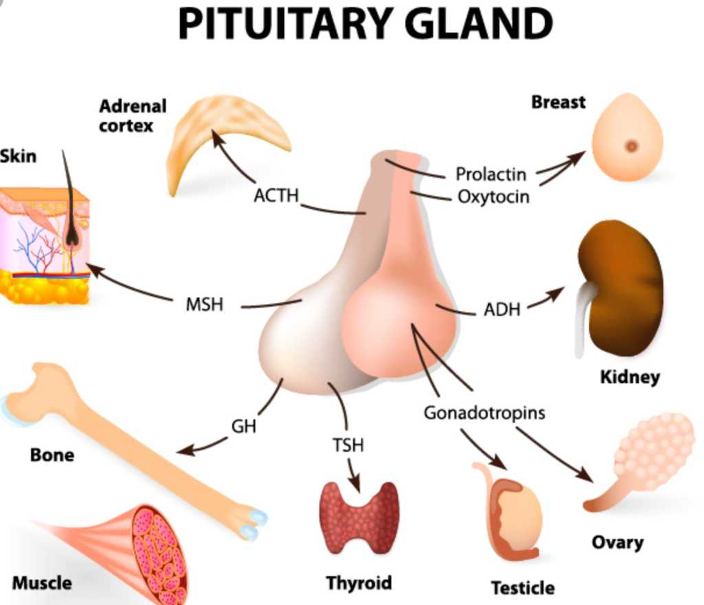 the pituitary gland functions