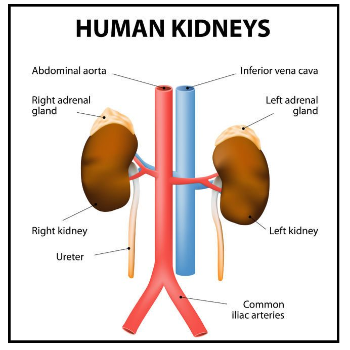 Photo Of The Human Kidneys