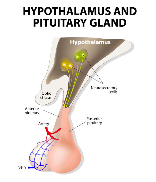 Pituitary Gland Function